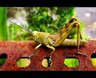 belalang di kebun